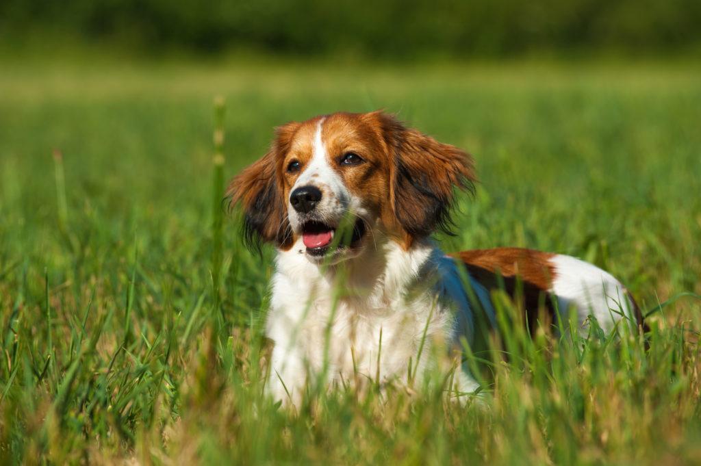 Лундехунд - стандарт породы, как содержать и ухаживать за норвежской собакой, выбор щенков и дрессировка, цены, фото и отзывы
