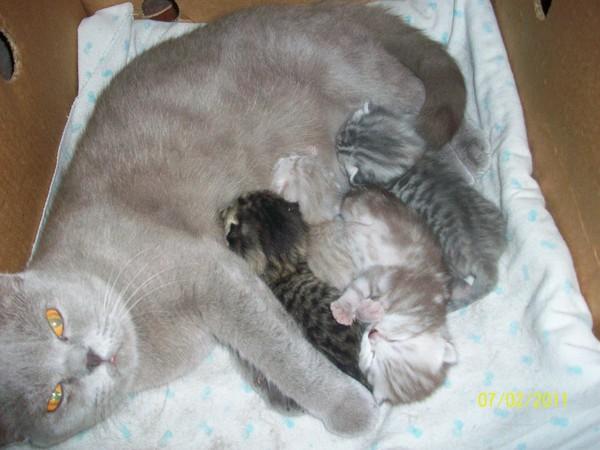 Сколько раз в год рожает кошка и приносит котят?
