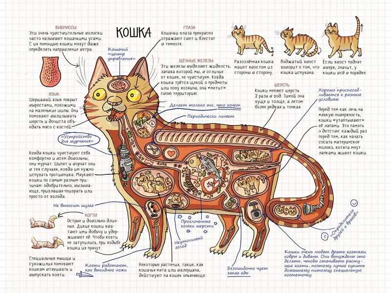 Зачем кошке нужен хвост, для чего она его использует, каково его строение и можно ли без него обходиться?