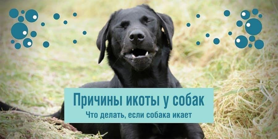 Почему собака икает: причины, что делать