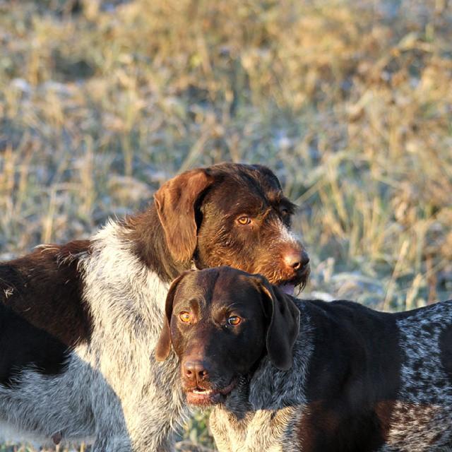 Самые лучшие собаки для охоты: обзор пород