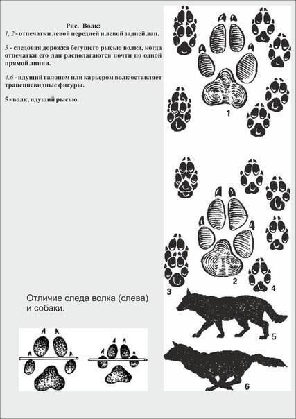 Чем отличаются волчьи следы от собачьих фото