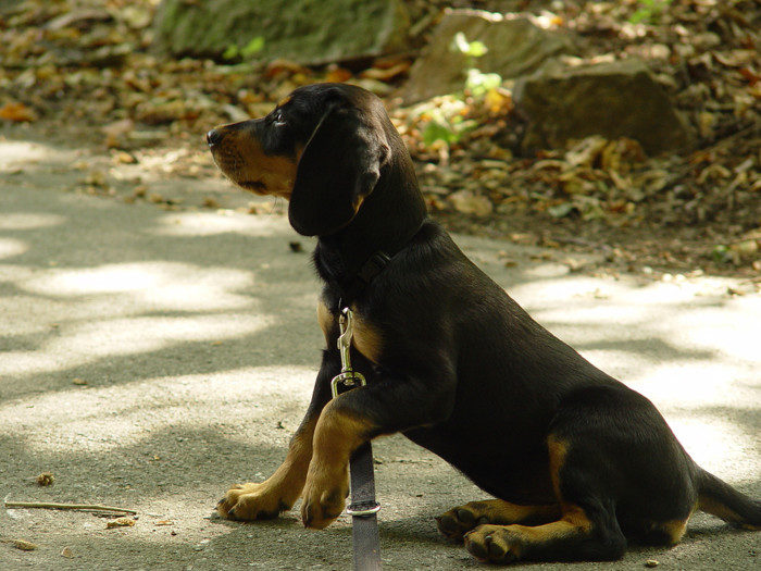 Словацкий копов: фото, описание породы, уход, характер | все о собаках