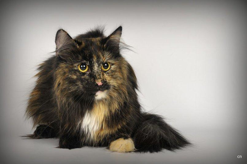 Норвежская лесная кошка. все о породе норвежская лесная кошка