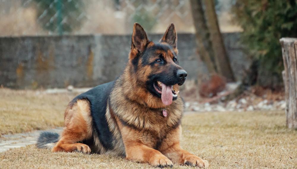 Собака для охраны частного дома - обзор лучших пород