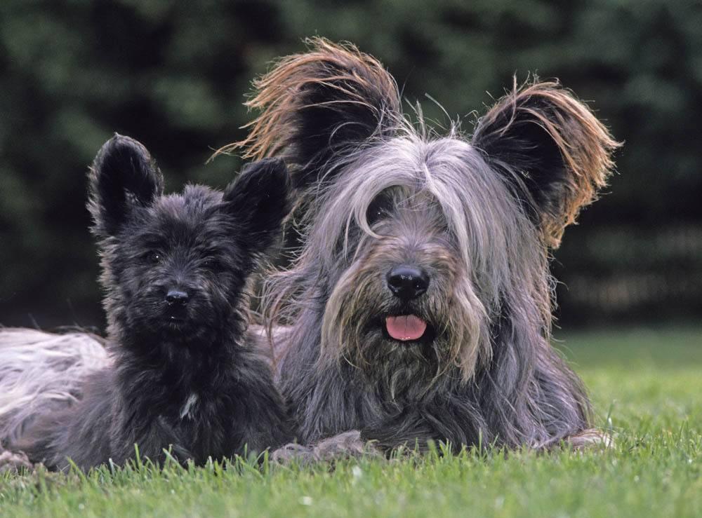 Описание породы собак скай терьер с отзывами владельцев и фото