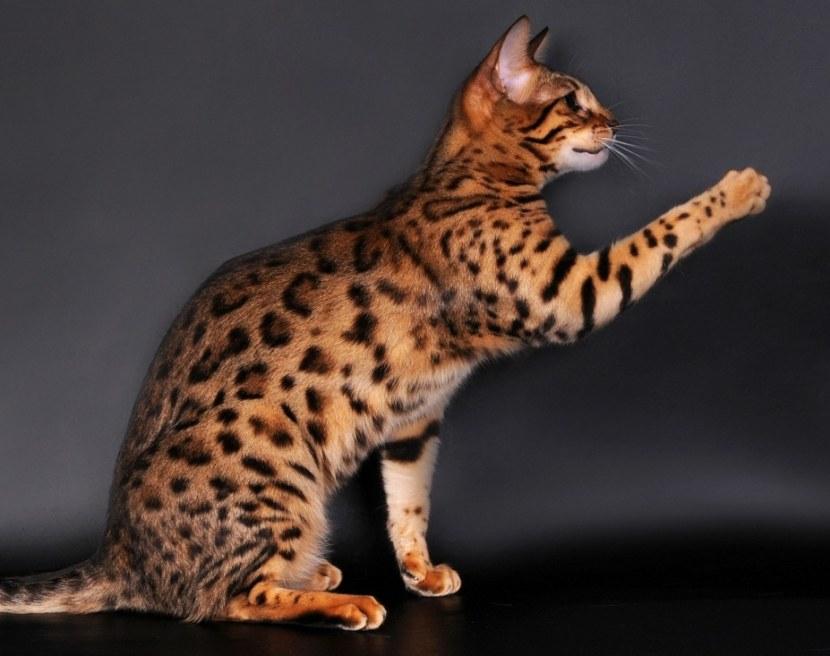 Кошка азиатская табби фото описание породы, характер, достоинства и недостатки, сколько стоит