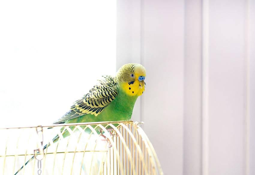 Эффективные способы научить волнистого попугая говорить