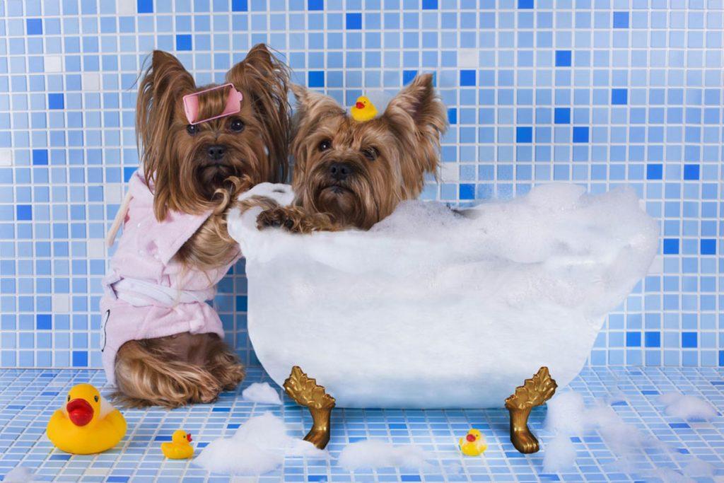 Йоркширский терьер уход и содержание: как правильно ухаживать в домашних условиях, что нужно для собаки, список вещей в квартире, уход за шерстью, кормление