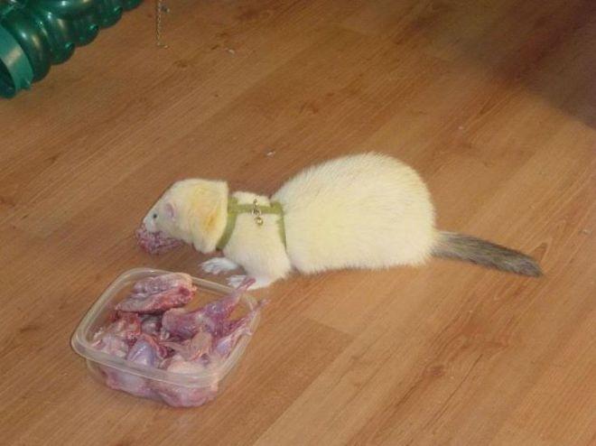 Чем питается хорек — рацион питания домашнего хорька