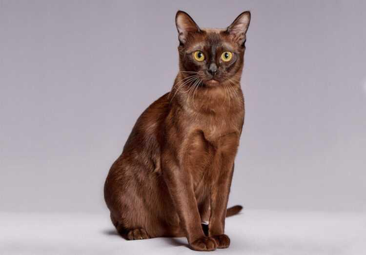 Бурманская кошка: описание породы, характер кошки и котенка, фото, цена