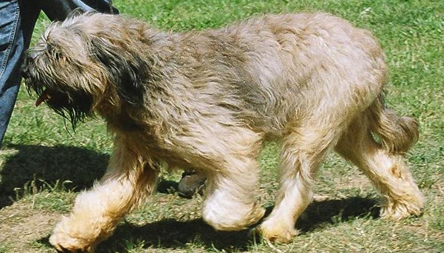 Као де кастро-лаборейро: описание породы, характер, уход, фото | все о собаках