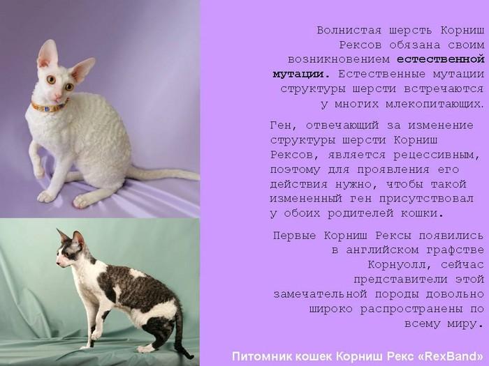 Корниш-рекс: фото, описание, характер, содержание, отзывы