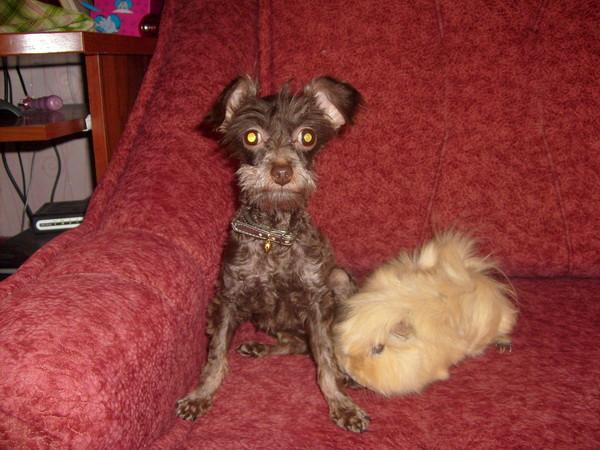 Собаки, которые не линяют (45 фото): самые маленькие нелиняющие породы, большие комнатные собаки и другие виды для квартиры