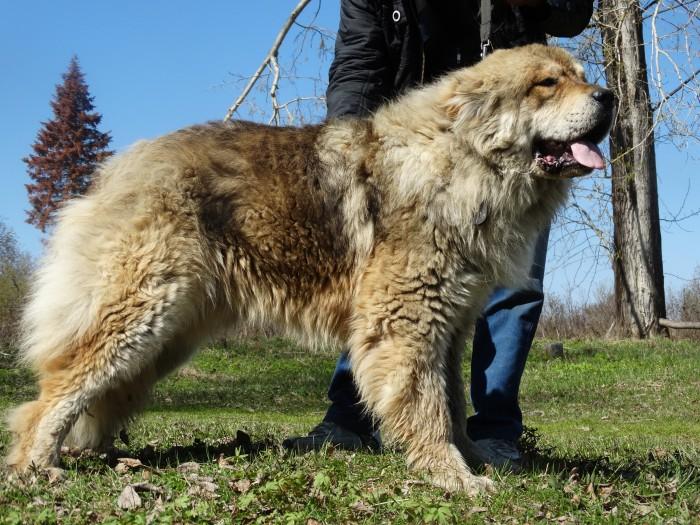 Кавказская овчарка: фото, описание и характеристика породы