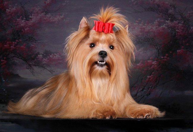 Порода собак русская салонная фото