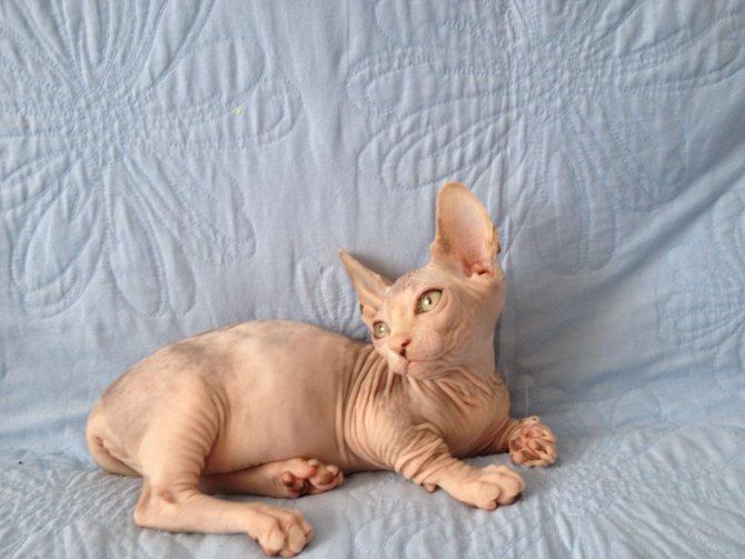 Кошка бамбино: описание породы с короткими лапами и большими ушами