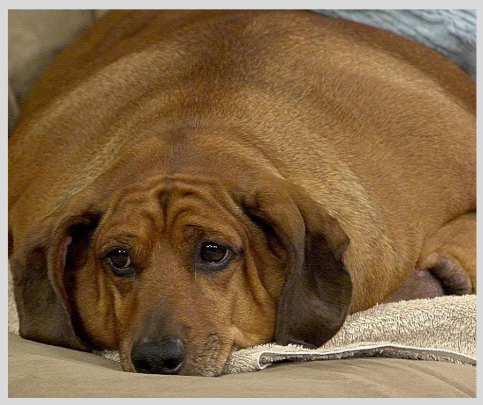 Ожирение у собак - причины, лечение, профилактика | главная