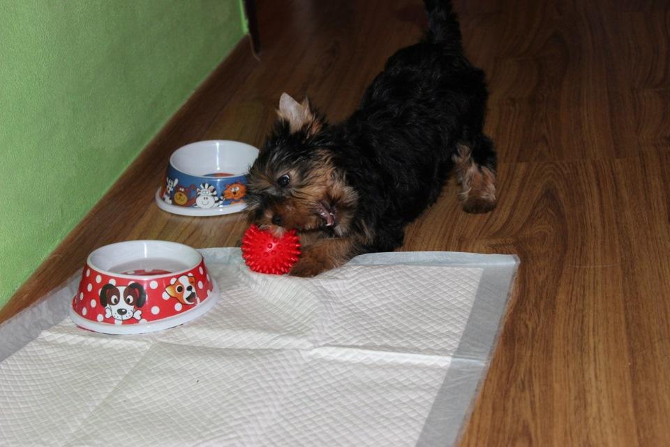 ᐉ чем кормить щенка йорка в 3 месяца? - zoomanji.ru