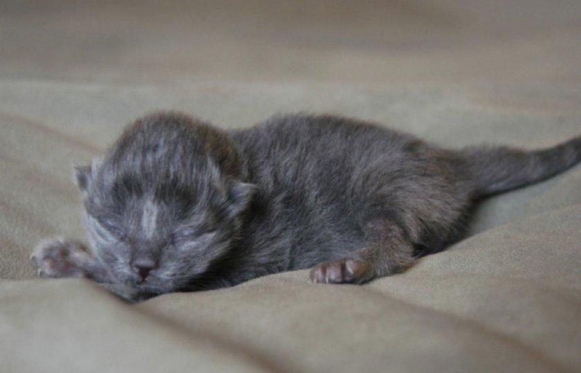 Когда у котят меняют цвет глаза, в каком возрасте?