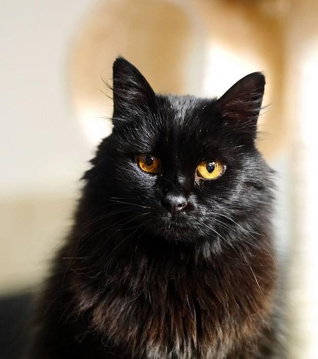 Шантильи-тиффани (25 фото): описание черных кошек, особенности породы. содержание котят и взрослых котов