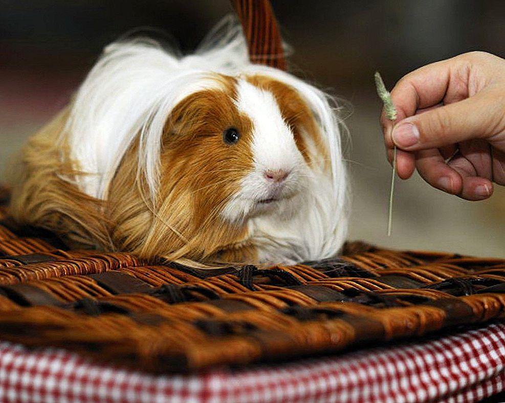 Чем нельзя кормить морскую свинку: что можно давать есть, а что запрещено, список продуктов питания и таблица