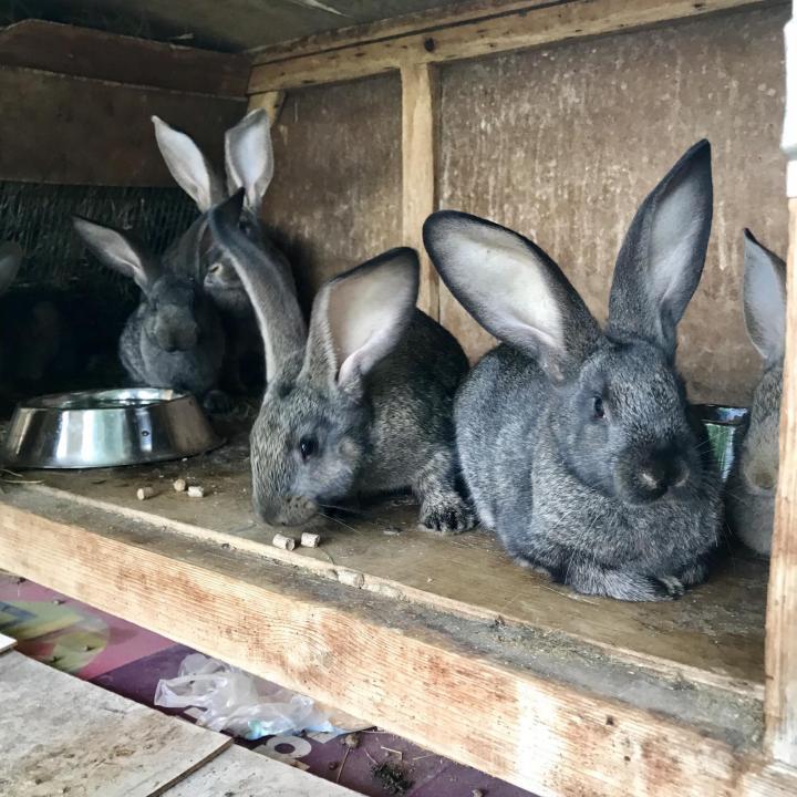 Кролики фландр описание породы, фото, особенности разведения и содержания