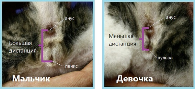 Как определить пол новорожденного или совсем маленького котенка и отличить кота от кошки в раннем возрасте?