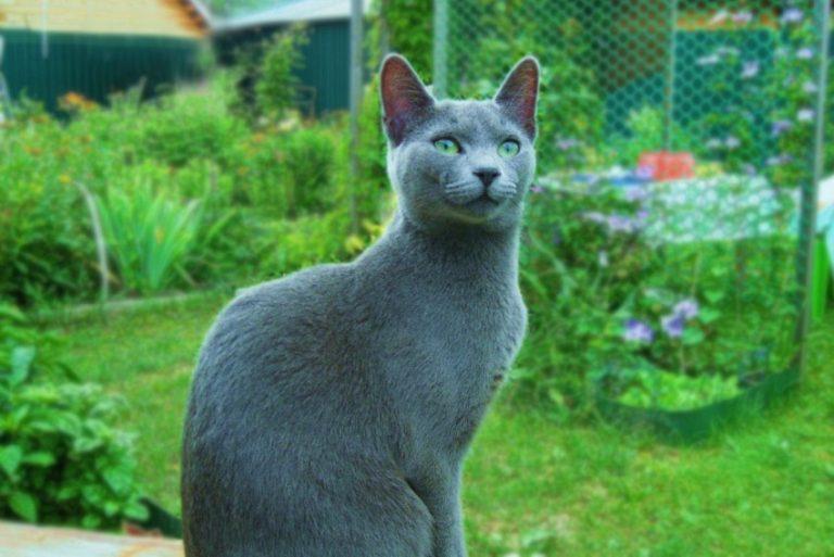 Содержание русской голубой кошки – советы и рекомендации