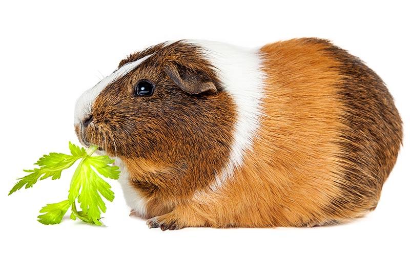 Морская свинка: уход и содержание в домашних условиях, сколько живет, чем кормить, размер клетки