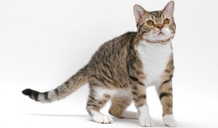 Американская жесткошерстная кошка: особенности породы
