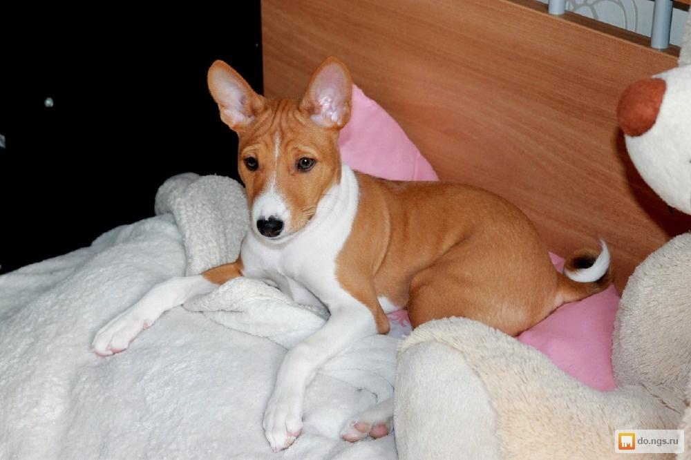 Породы собак не линяющие и не пахнущие: маленькие для квартиры, топ лучших пород