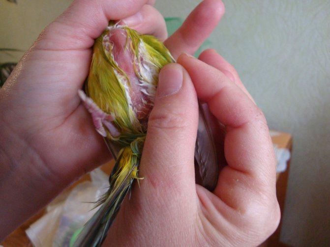 Липома у попугая: шишки и опухоли на животе, крыле, грудке, шее, как лечить у волнистого попугая, ксантома