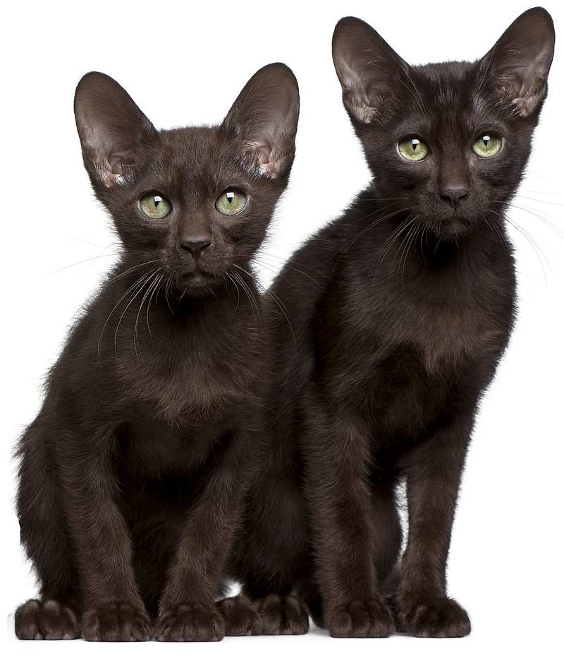 Кошка гавана браун-описание породы