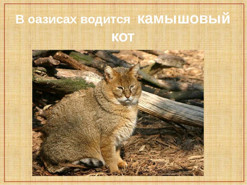 Камышовый кот (хаус) - описание, где живет, чем питается, фото