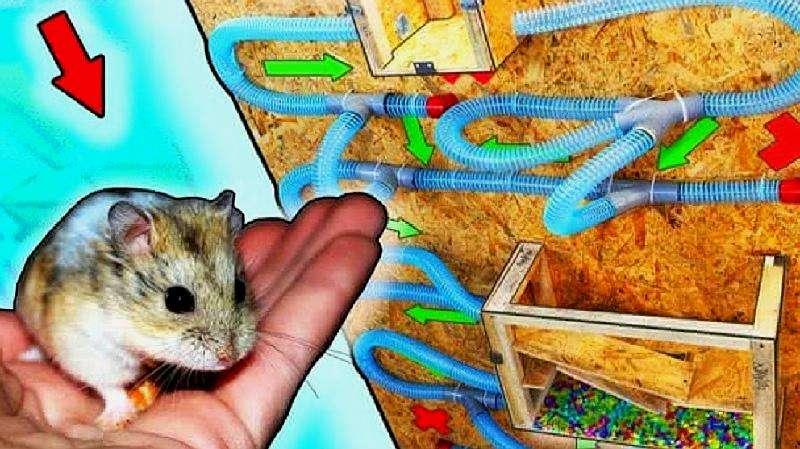 Уход за хомяком и его содержание в домашних условиях