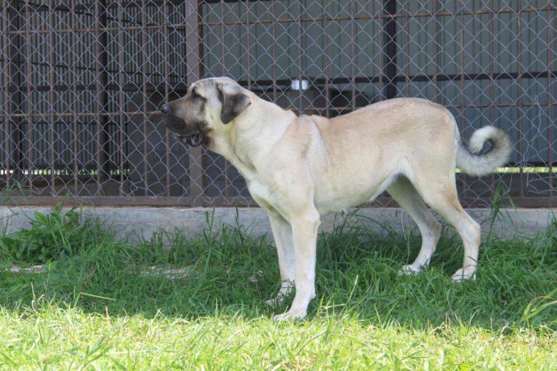 Кангал (турецкая овчарка) — фото и описание породы, характер собаки, содержание и уход