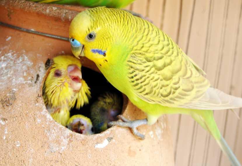Волнистые попугаи мальчик или девочка. как отличить попугая-мальчика от девочки