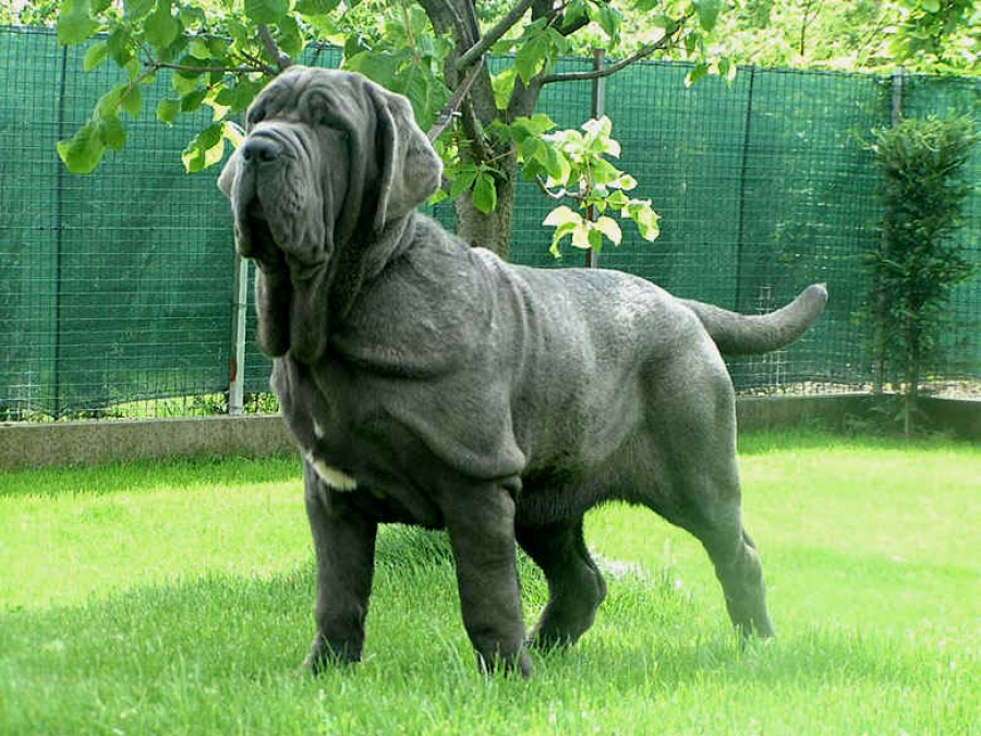 Самые большие собаки в мире: топ-10 крупных и тяжёлых пород с фото и описанием