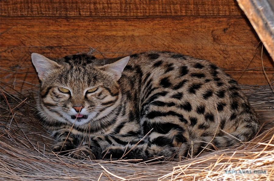 Черноногая кошка: описание внешности, характер, среда обитания и образ жизни, фото