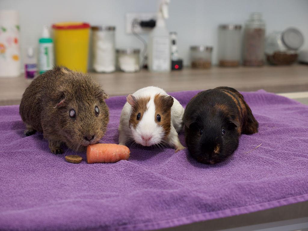 Причины и способы лечения поноса у морской свинки