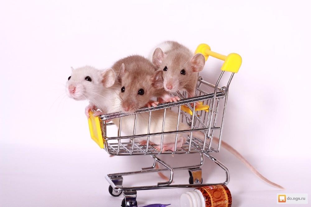 Домашняя крыса – какую клетку выбрать, чем кормить, как дрессировать и другие особенности ухода и содержания