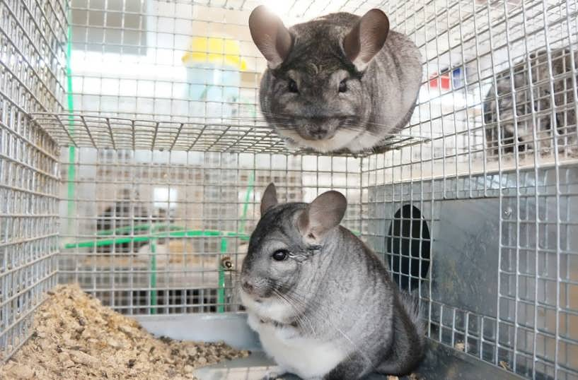Размножение шиншилл — спаривание шиншилл в домашних условиях