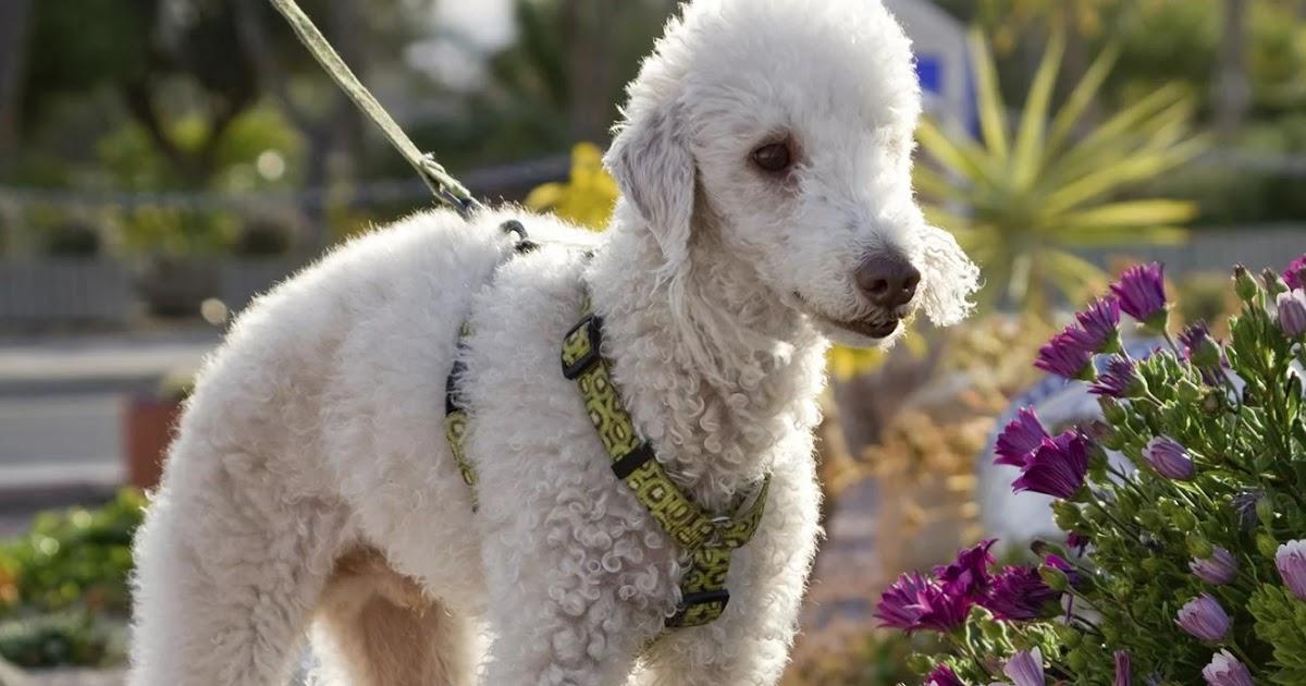 Бедлингтон терьер: описание породы собак и цена щенка