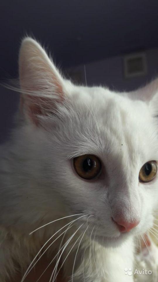 Все ли белые кошки – альбиносы, правда ли, что белоснежные коты с голубыми глазами всегда глухие?