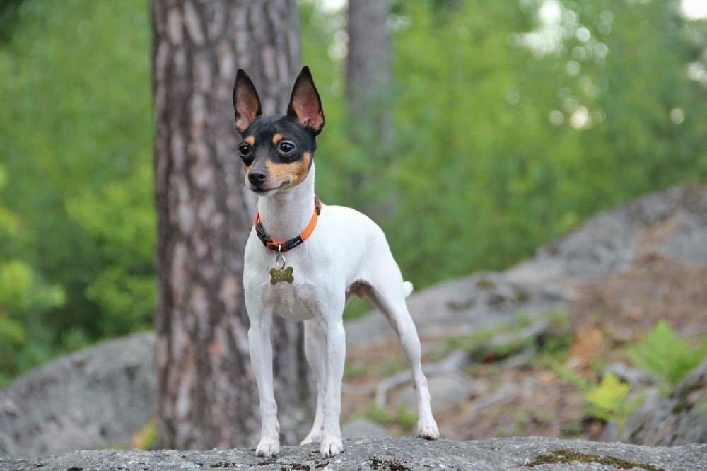 Фокстерьер: 130 фото породы, стандарты и особенности воспитания щенков фокстерьера