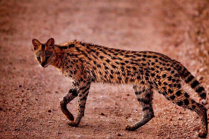 Породы кошек африканского происхождения