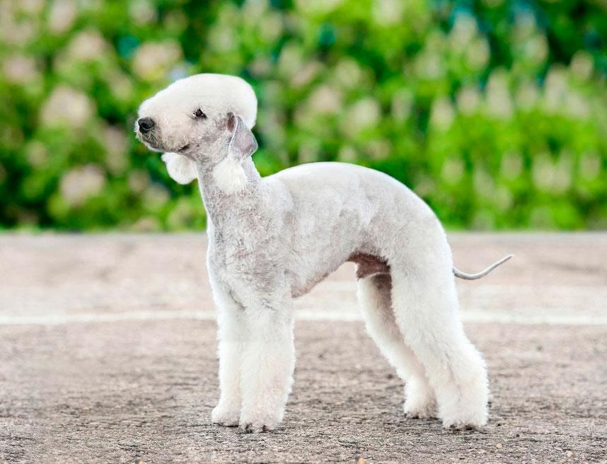 Бедлингтон-терьер: собака с необычной внешностью овечки