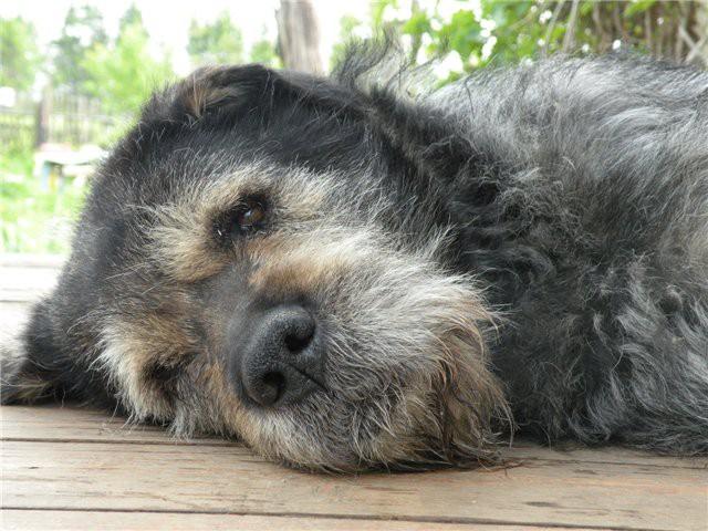 Чумка у собак: первые признаки и лечение, правила поведения.