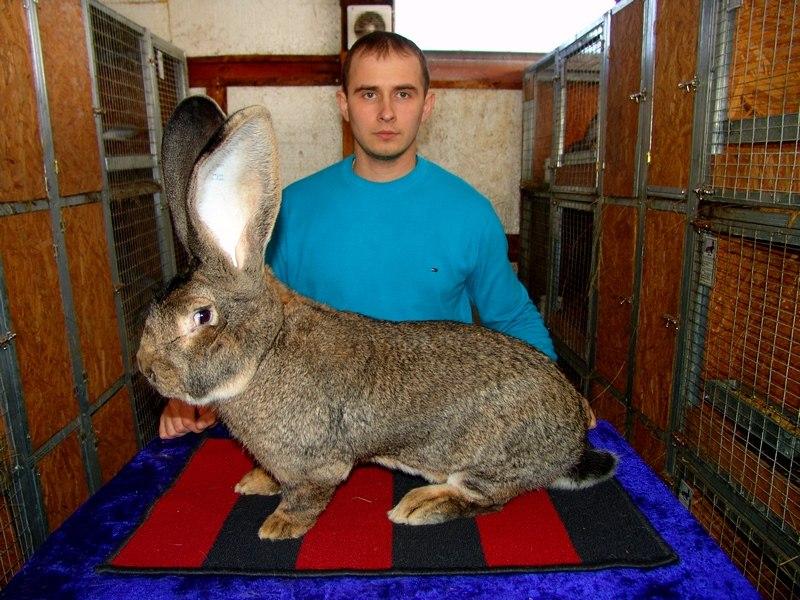 Кролик фландр: особенности разведения и ухода